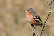 Male Chaffinch Sat On Branch