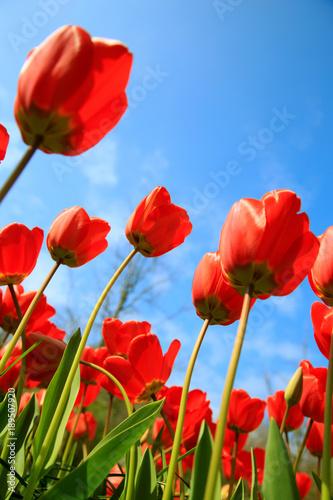 Deurstickers Tulp Blühende Tulpen im Frühling
