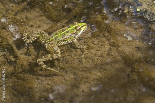 Cuadros en Lienzo Perez's frog swimming in a pond