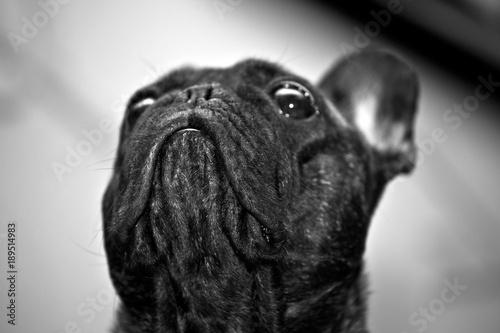Cadres-photo bureau Panthère Black French Bulldog Home