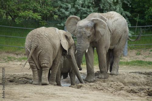 Poster Parrot Słonie