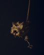 Oak knopper gall on dark background