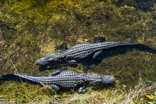 USA, Florida, Two Crocodiles Waiting In The Water From Above