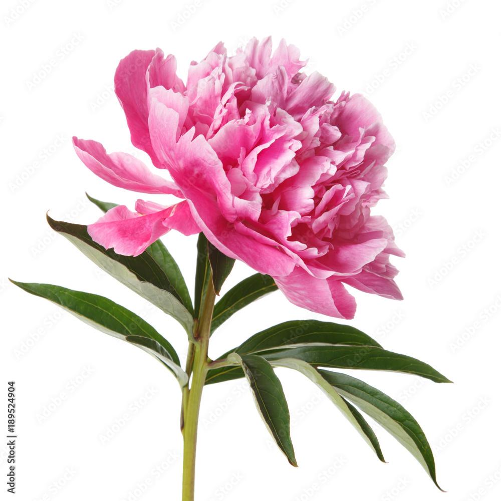 Beautiful pink peony isolated on white background.