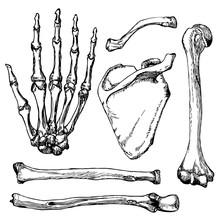 Set Of Human Hand Bones With S...