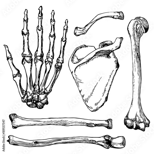 Obraz na plátne Set of human hand bones with scapula and collarbone.