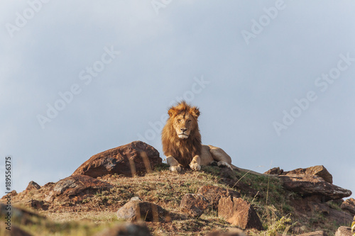 Fototapety, obrazy: Lion  in Nature