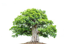 A Big Tree With Green Leaves I...
