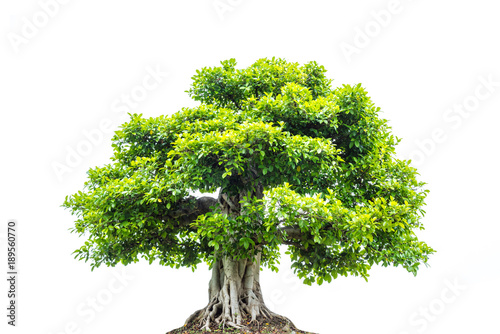 Fototapeta A big tree with green leaves isolated over white background obraz