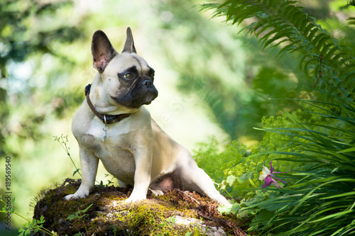 Portrait of French Bulldog in nature