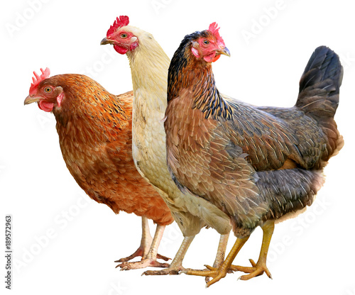 Photo sur Toile Poules Brown hen isolated on white background.