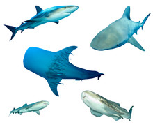 Shark Species Isolated. Grey R...