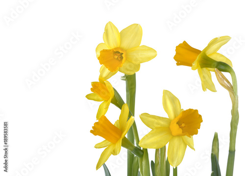 Deurstickers Narcis beautiful yellow daffodils isolated on white background