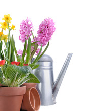 Hyacinth, Primrose And Daffodi...