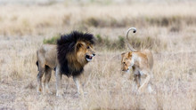 Lion And Lioness In The Masai ...