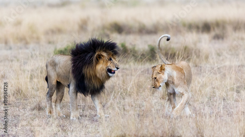 Photo  Lion and lioness in the Masai Mara