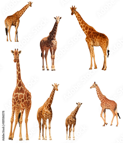 Poster Giraffe Giraffes isolated. Reticulated Giraffe cutout on white background