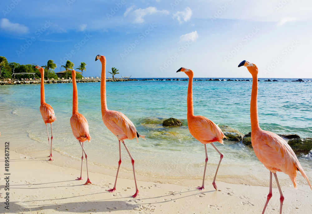 Fototapeta Flamingo on the beach, Aruba island
