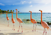 Flamingo On The Beach, Aruba I...