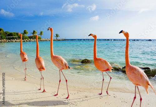 Fotobehang Flamingo Flamingo on the beach, Aruba island