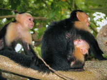 White-faced Capuchin Monkey Wi...