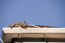 Squirrel On The Rooftop
