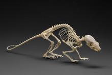 Real Rat Skeleton. Studio Shot.