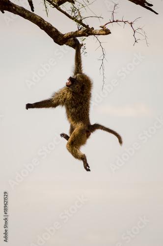 Foto op Aluminium Aap Isolated baboon sitting on a stone in the savannah of Masai Mara Park in Kenya