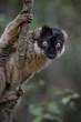 Brown Lemur - Eulemur fulvus, Madagascar rain forest. Safari in Madagascar. Cute primate.