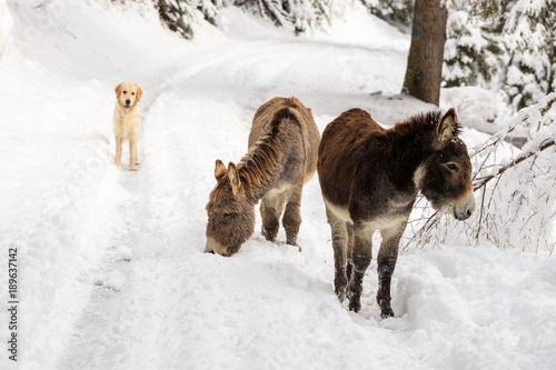 due asinelli e un cane sulla neve, in Val Canali, nel parco naturale di Paneveggio - Dolomiti