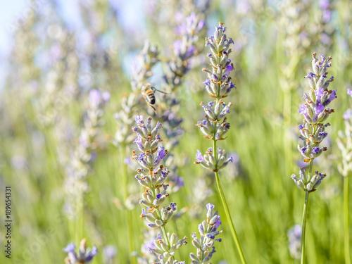 Lavanta çiçekleri Poster