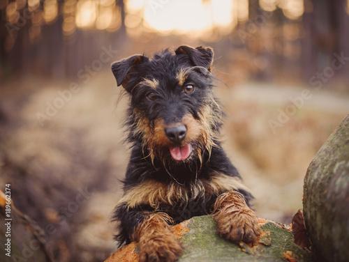 Obraz Deutscher Jagdterrier, German hunting terrier black and tan, in the forest. - fototapety do salonu
