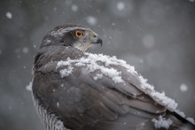 Northern Goshawk In Falling Snow