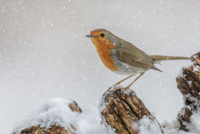 Winter Robin In Falling Snow