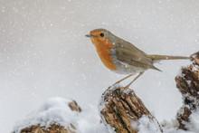 Winter Robin In Falling Snow