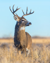 White-tailed Buck In Field Of ...