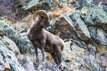 Regal Pose Of A Young Bighorn Sheep Ram On A Hillside In Colorado