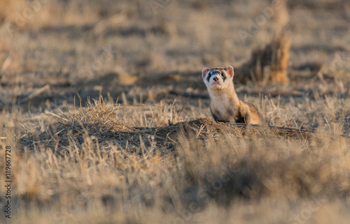 Fototapeta A Curious Black-footed Ferret Standing Alert obraz