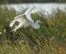 Snowy Egret Takes Flight At Su...