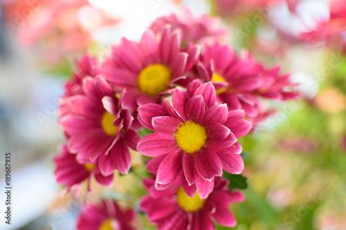Poster de jardin Dahlia flower close up