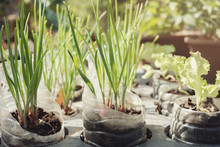 Growing Spring Onion,vegetable...