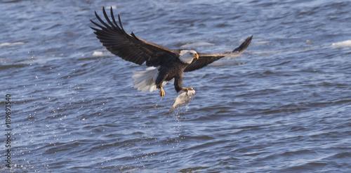 Tablou Canvas american bald eagle caught big fish