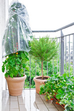 Terracotta Pots With A Tomato Plant With Red Tomatoes And A Plastic Rain Cover, A Rosemary Tree And Strawberry Plants With Ripe Berries On A Wet Balcony, Apartment Gardening Concept