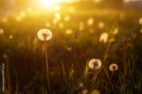 Keuken foto achterwand Lente dandelions in the golden rays of the setting sun as nature background
