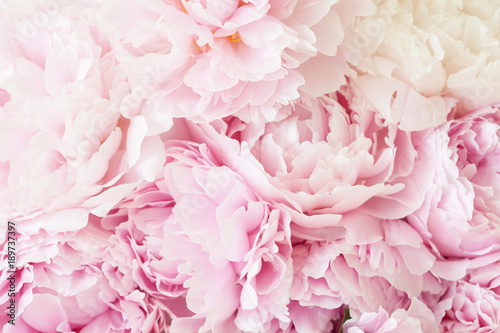 Foto beautiful pink peony flower background