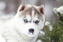 Winter Portrait Of A Cute Blue...