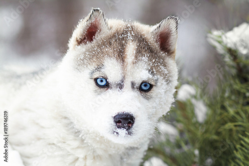 winter portrait of a cute blue-eyed husky puppy against a background of snowy na Canvas Print