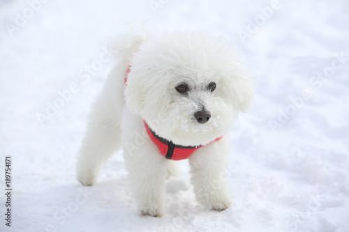 Fotografija The breed is Bichon Frise