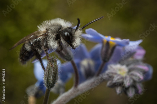 Foto op Canvas Textures Male Ashy Mining-bee