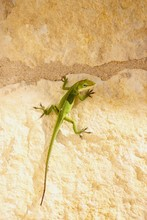 Anole Lizard Looking At You